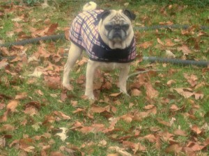 Beans The Pug Wearing A Coat