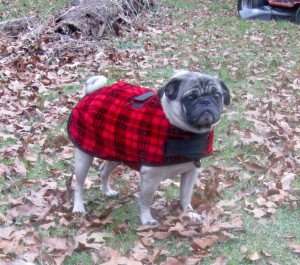 frank the pug wearing a coat