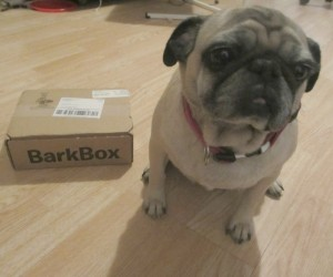 barkbox pug small box