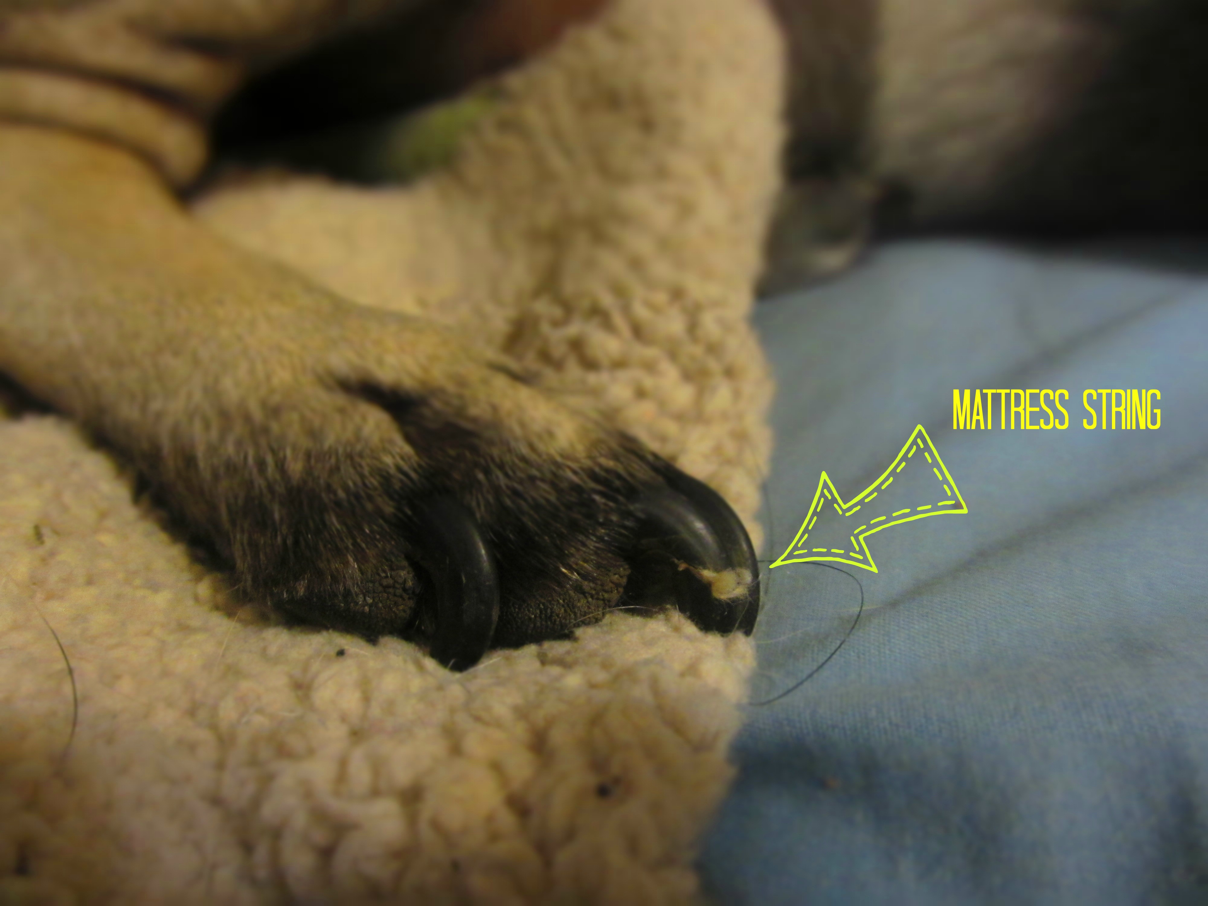 Dog Nail Injury Goldenacresdogs Com