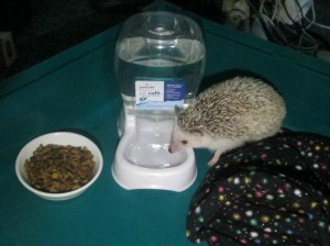 hedgehog heavy water dish solution - no more spilling their water everyday!