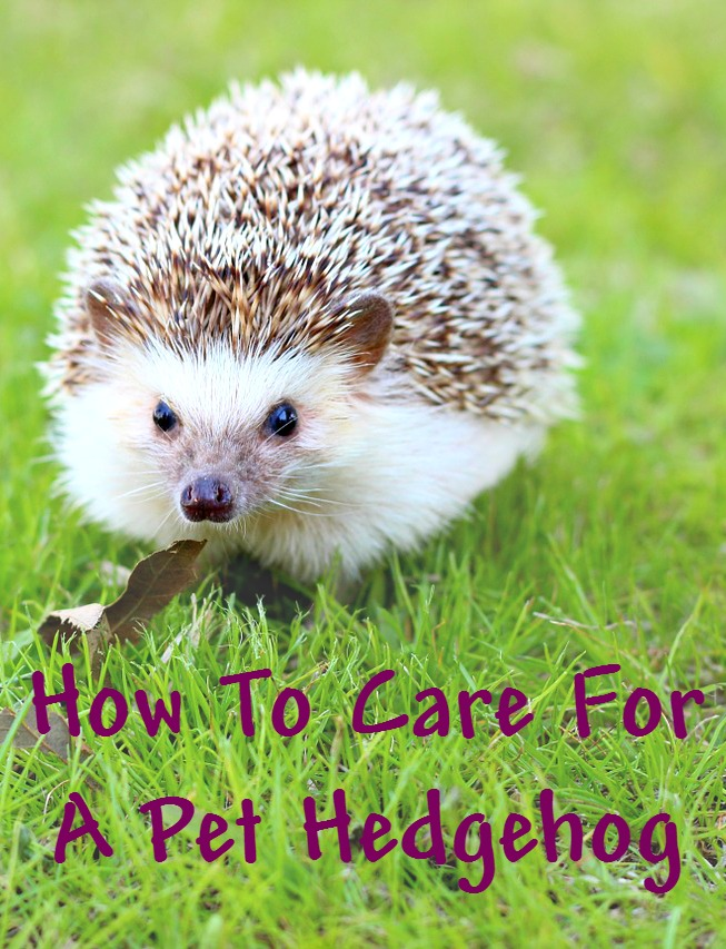 Are hedgehogs low maintenence pets? How to care for a pet hedgehog - including tasks that need to be done daily, weekly or monthly.