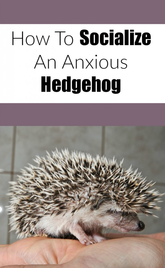 Socialize your anxious or grumpy hedgehog