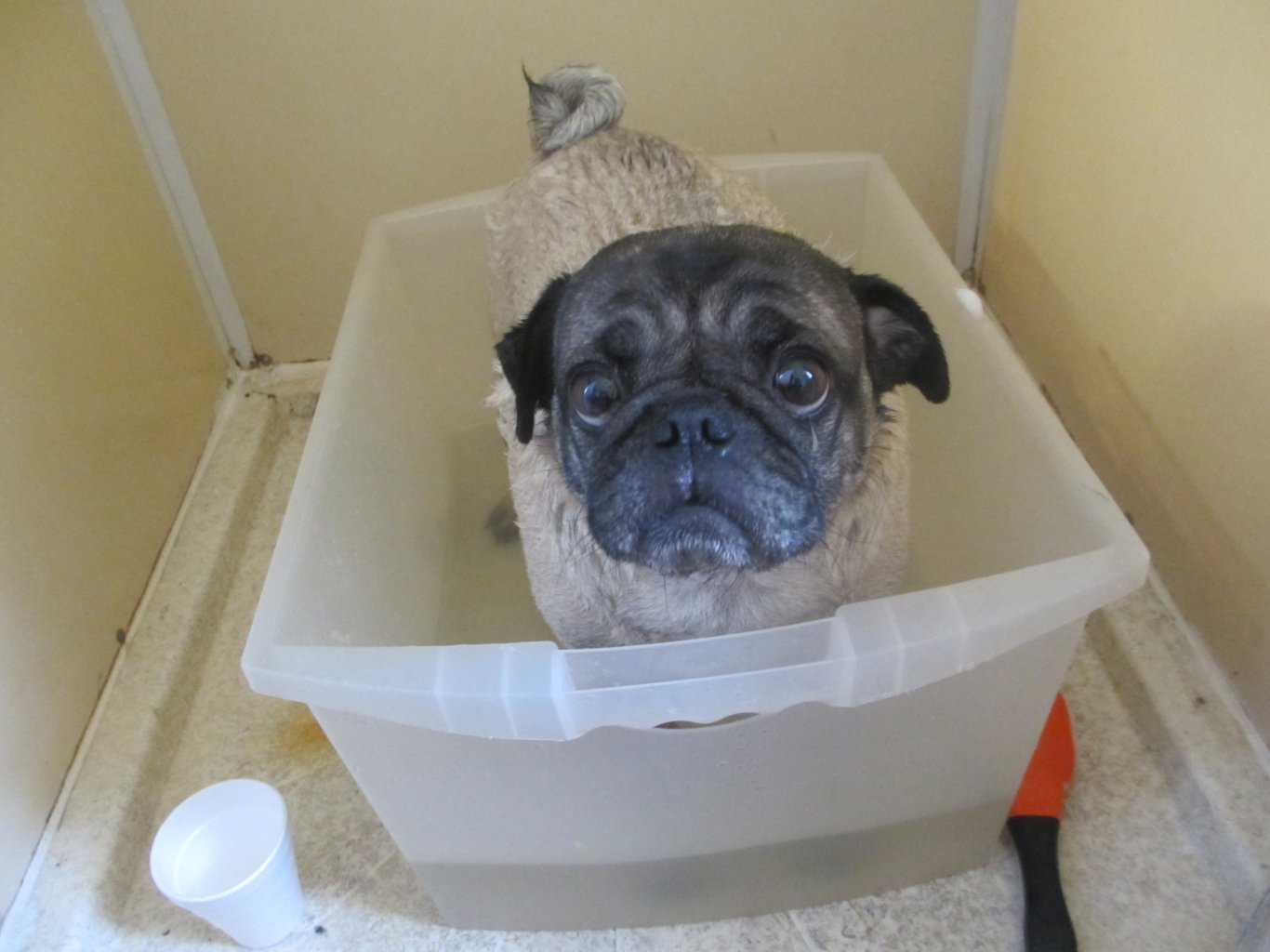 Do Pugs Stink All The Time