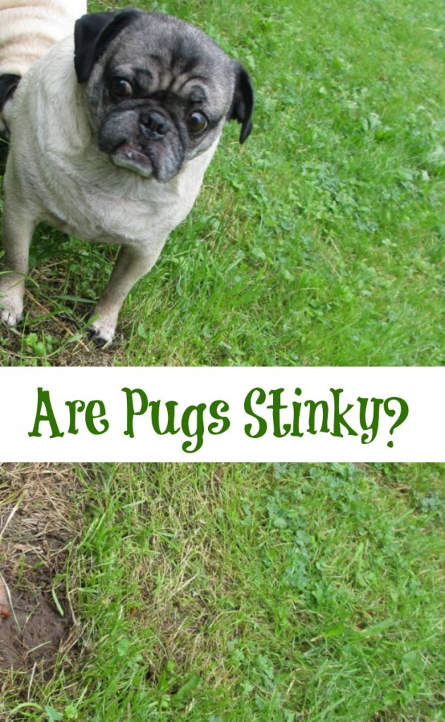 I often get asked if my pugs stink. Does a pug smell worse than other dogs? Come find out!