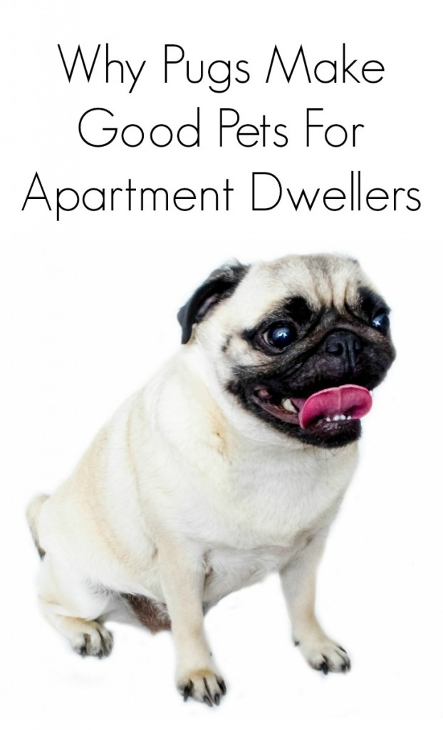 Why pugs make good dogs for apartment dwellers
